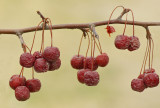 Berries  Old Town 4-7-12-ed.jpg