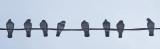 Pigeons - Neighborhood  12-11-12-ed.jpg