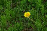 Dandelion - City Forest 5-27-14-pf-rev.jpg