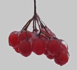 Berries- Essex Woods 12-3-14-ed.jpg