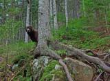 Kelley Loop Trail Little Moose b 11-13-11.jpg