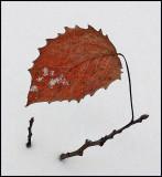 Leaf - DeMeritt Forest 1-9-15-ed.jpg