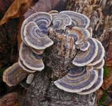 Fungus  Boyd Path b 2-24-12-ed.jpg
