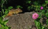 Chipmunk Garden 7-16-15-ed.jpg