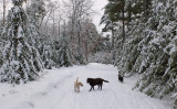 The Dogs - Main  Rd. - City Forest 12-28-13-ed.jpg