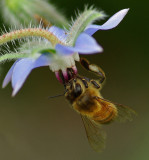 Bee on Borage - Garden 7-24-11.jpg