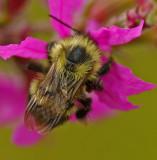 Bee - Walden 8-27-11-ed.jpg