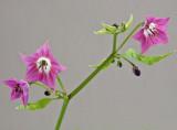 Rocopica flowers 9-7-4-ed.jpg