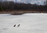 Ducks  Beaver Pond City Forest 4-12-18.jpg