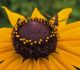 Hoverfly  City Forest 7-24-15-ed.jpg