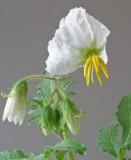 Solanum sisymbriifolium flower 9-18-4-ed.jpg