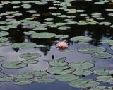 Water Lily  - Little Long Pond b7-2-14-ed.jpg
