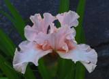 Iris Garden 6-9-18.jpg