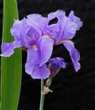 Japanese Iris Garden 2 6-27-18.jpg