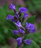 Sage Flowers Garden 6-27-18.jpg