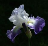 Iris Garden 6-3-18.jpg