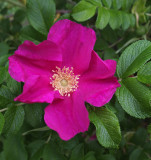Rosa rugosa Garden b 6-24-18.jpg