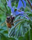 Bee on Borage Garden 7-19-18.jpg