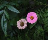 Zinnias Garden 7-28-18.jpg