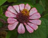 Zinnia Garden 9-30-18.jpg