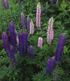 Lupine Garden b 6-17-18.jpg