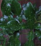 Kaffir Lime Garden 8-4-18.jpg