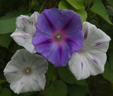 Morning Glories Garden 9-28-18.jpg