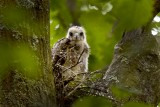 Red-shouldered Hawk (Young)