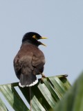 Myna bird ... very noisy. They roosted at the condo.
