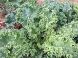 Kale grows well in the 60'x50' garden north of the house