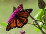 Butterfly Bush & Monarch Butterfly