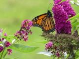 Miss Molly butterfly bush - a haven for Monarch butterflies, hummingbirds and hummingbird moths!!