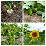 The chipmunks planted the sunflowers!
