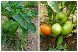 Tomatoes and green peppers - essential ingredients for salsa!