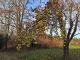 One of the old apple trees