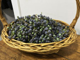 A basket of wild grapes ....