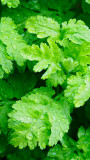 Feverfew - can become invasive!