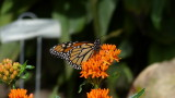 Monarch butterfly and Butterfly Weed