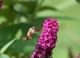 An aging Hummingbird Moth in September