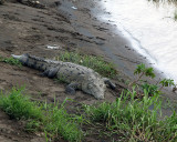 Croc on the River Bank.jpg