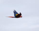 Macaw Flying.jpg