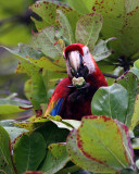 Macaw in the Leaves.jpg