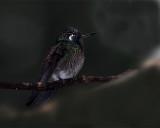 Hmmingbird in the Cloud Forest.jpg