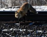 fox on the tracks.jpg