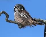 Owl Glare.jpg