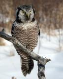 Northern Hawk Owl on a Snag.jpg