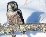 Hawk Owl in the Sun.jpg