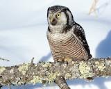 Hawk Owl on a Log.jpg