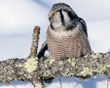 Northern Hawk Owl Looking Left.jpg