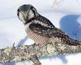 Northern Hawk Owl on Downed Tree.jpg